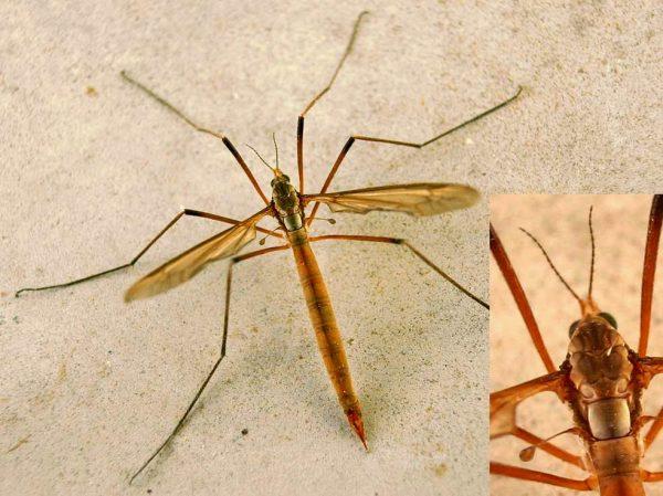 Комар рода карамора