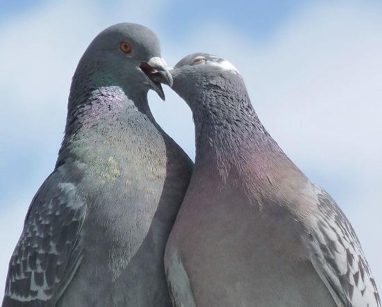 Целующиеся голуби
