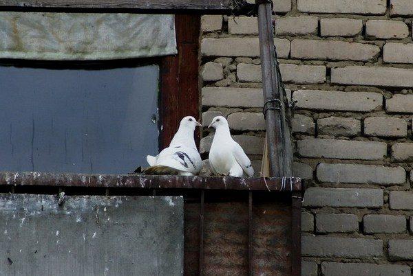 Два голубя на перекладине у окна
