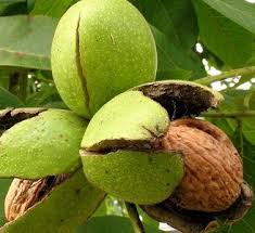 Грецкий орех в зелёной кожуре