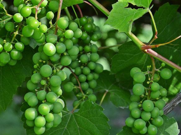Неспелый, зелёный виноград, гроздья