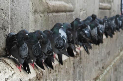 Стая голубей на парапете
