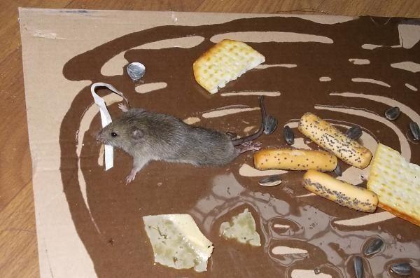 мышь попалась на клей
