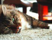 кошки лежат на ковре