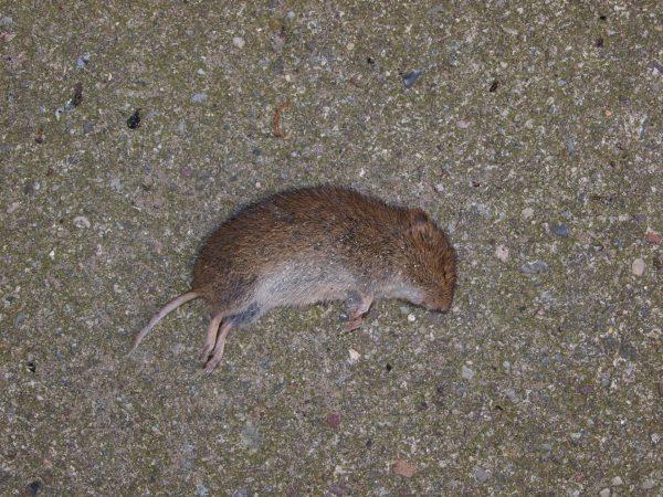 Мёртвая мышь