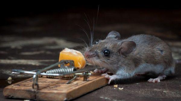 Мышь у мышеловки