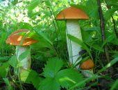 подосиновики в лесу