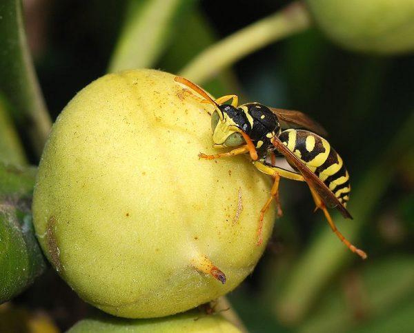 Оса питается плодами