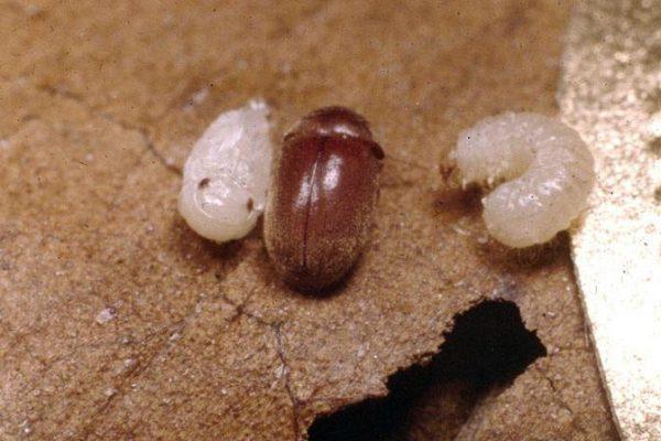 Хлебный точильщик с личинками