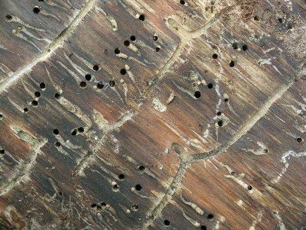 Следы жизнедеятельности короеда на древесине