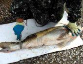 Как чистить судака рыбочисткой