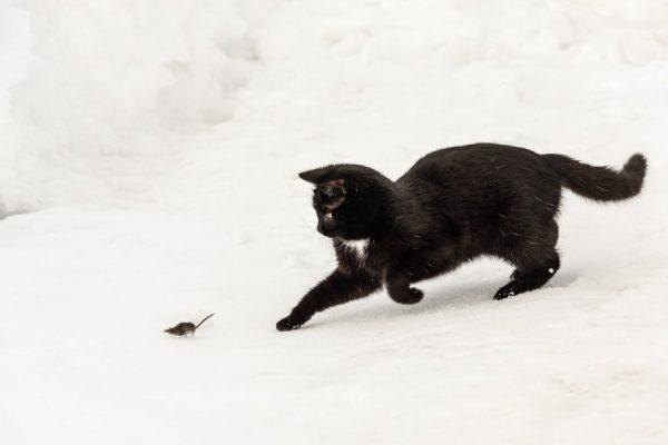 Черный кот ловит грызуна