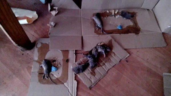 Крысы, попавшие в самодельную клеевую ловушку