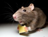 ловить крыс
