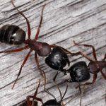 Красногрудые муравьи