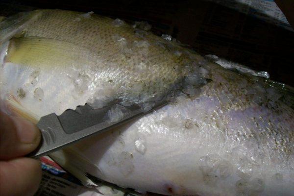 Рыболовным ножом удаляют чешую рыбы