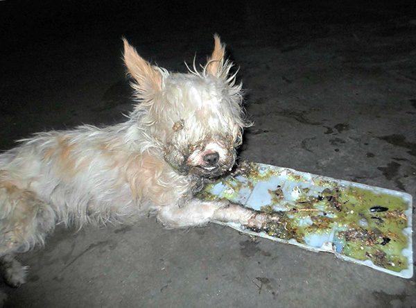 Собака, попавшая в клеевую ловушку для крыс