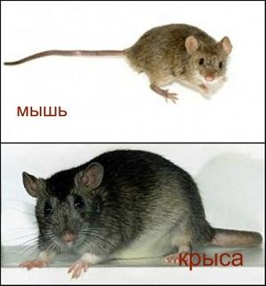 Сравнение размеров мыши и крысы