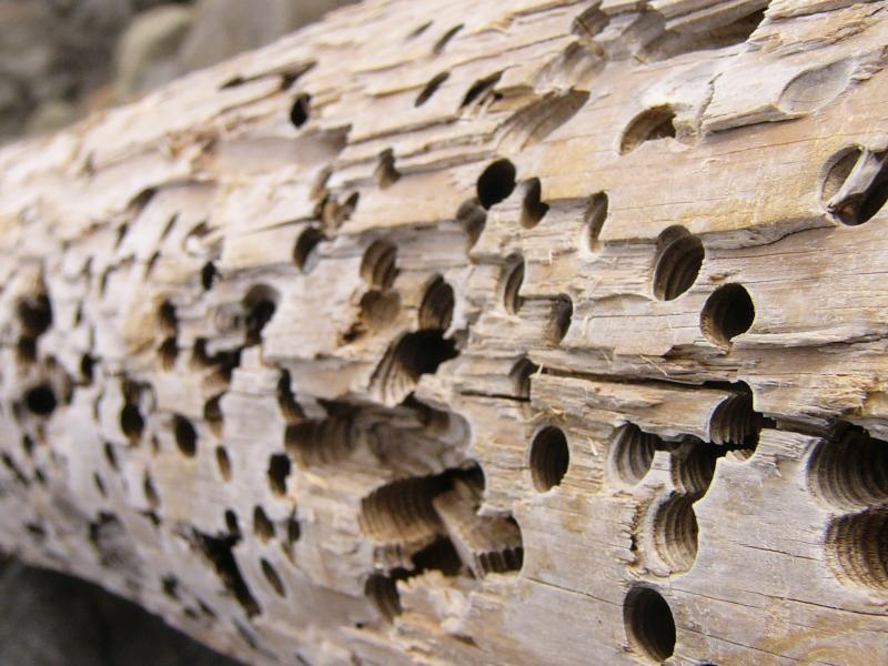 Как лечить дерево от короеда